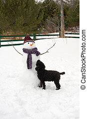 Curious - Humorous image of a miniature poodle cautiously...