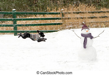 Excited - Toy poodle pup zooms excitedly out into the snow,...