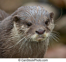 small-clawed, retrato, nutria