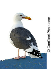 California Gull sitting on pier rail isolated on white...