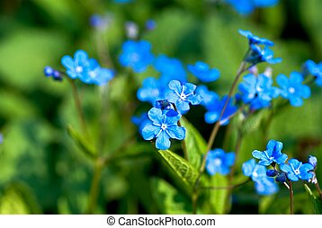 Blue flowers - Bright blue flowers named Blue-eyed-Mary in...