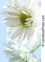 Ox-eye daisy - Close-up of nice white ox-eye daisy on blue...