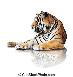 tiger-, isolado, branca, fundo, Reflexão, sombra