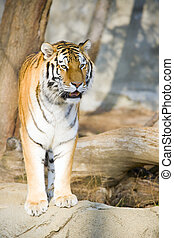 Tiger - Beautiful Bengal tiger standing on a rock