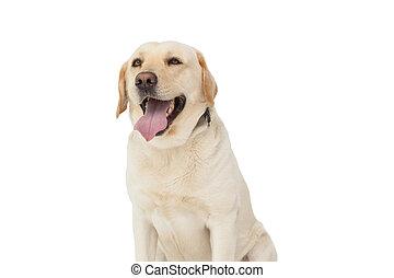 Yellow labrador dog on white background