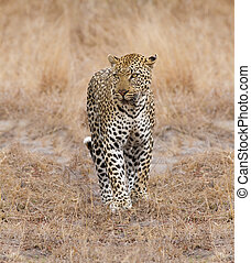 Beautiful large male leopard walking in nature hunting for...