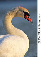 Portrait of a Mute Swan.
