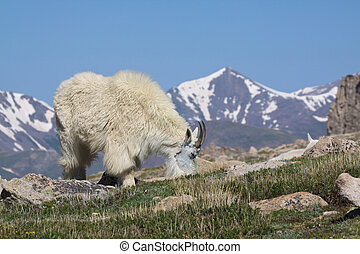 Mountain Goat Feeding - a mountain goat feeding in the high...