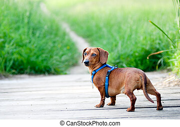 Dachshund looking back at camera - A miniature Dachshund,...