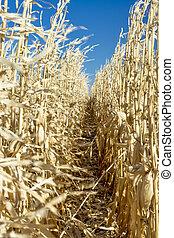 Wind blows through corn stalks in nature