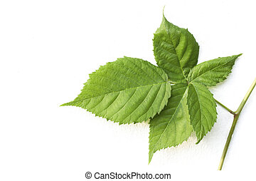 Sprig Of Leaves On Climbing Blackberry Plant - sprig of...