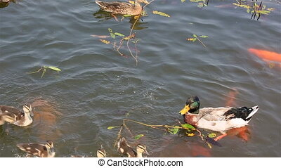 Duck with ducklings swimming in the pond and catch the bread...