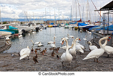 Pack of swans on Leman Lake in Geneva, Switzerland