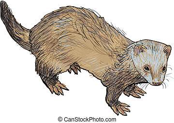 Drawing of ferret ,a mammal belonging to the weasel genus of...