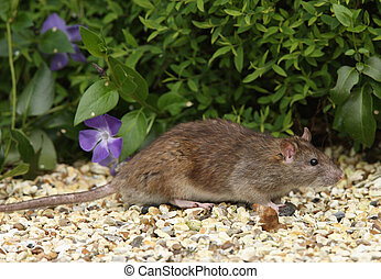 Brown Rat - Close up of a Brown Rat