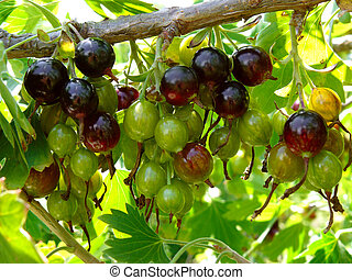blackcurrant - bunches of blackcurrant ripening on branch