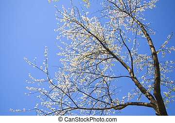 blossom cherry tree - tall spreading cherry tree blooming by...