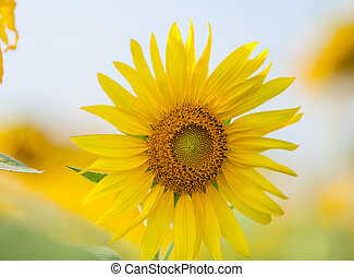 Close-up of sun flower