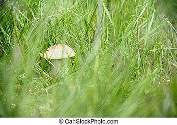 Boletus Edulis in grass close up