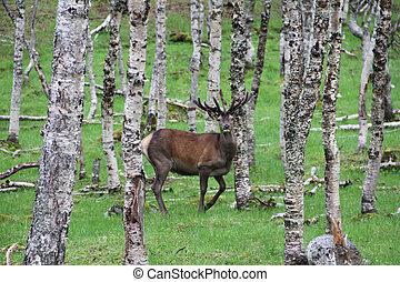 Deer in forest - Beautiful male deer in birch forest, Norway