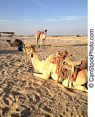 Camel on the sand