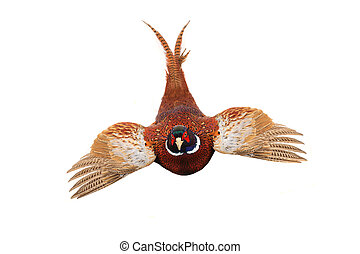pheasant - flying pheasant hunting is photographed in studio...