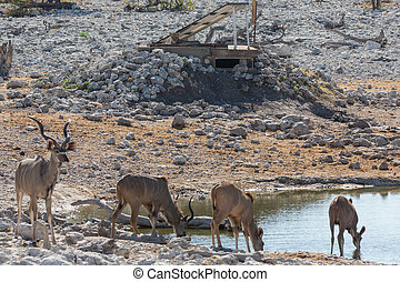 Lion and Kudu antelope - Lion watching some kudu antelopes...