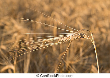 detail of barley