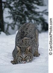 caza, bobcat