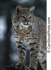 Bobcat - portrait of a bobcat