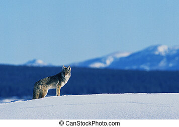 Coyote in Winter - a lonely coyote stands in open mountain...
