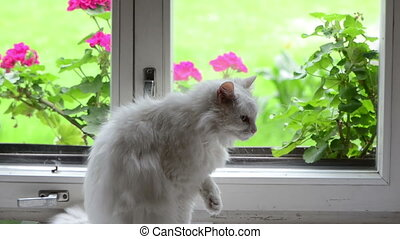 white cat on window sill - White old fluffy cat pet sit on...