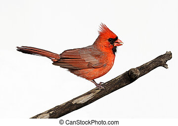Isolated Cardinal On A Stump - Male Northern Cardinal...