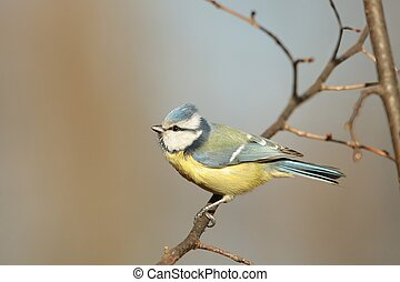 Blue tit Parus caeruleus staring at the other birds