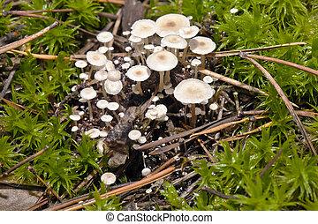 Small white mushrooms