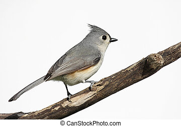 Isolated Titmouse On A Stump - Tufted Titmouse Baeolophus...