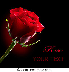 Red Rose Flower isolated on Black background