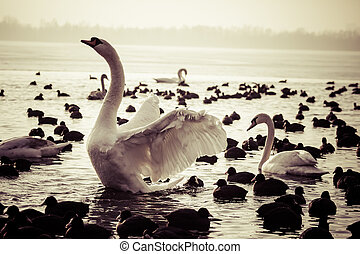 Swan floating on the water at winter time.