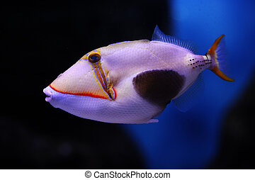 Blackbelly triggerfish (Rhinecanthus verrucosus) in a Moscow...
