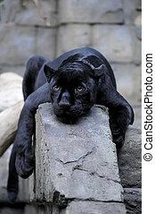 Black jaguar taking a rest