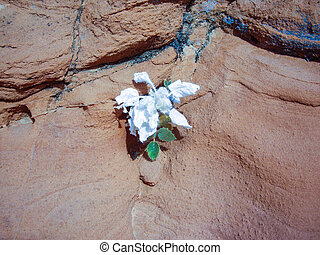 White desert flower on sandstone - Desert flower grows on...
