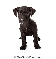 Scruffy black puppy standing