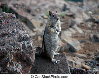 Golden Mantel Squirrel - A Golden Mantel Ground Squirrel...