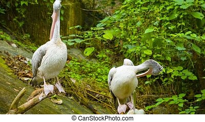 Two pelicans resting - Video 1920x1080 - Two pelicans...