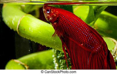 Betta Fish Macro