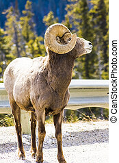 Big Horn Sheep Mountain Goat