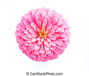 pink zinnia flower on white background - pink zinnia flower...