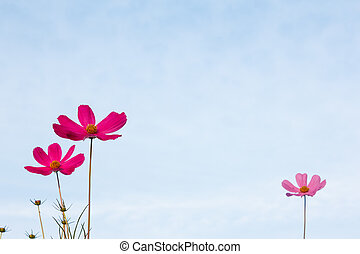 Purple cosmos flower on blue sky in the morning