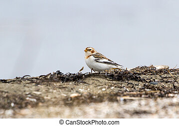 Snow Bunting in bc canada