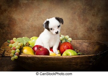 Begging puppy in fruit bowl - Adorable chihuahua puppy...